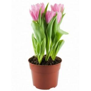 Купить тюльпан в горшке в Хабаровске