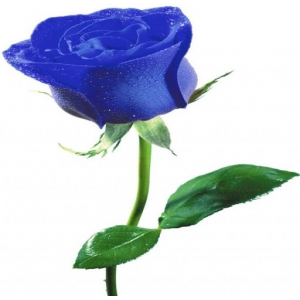 Купить синюю розу в Хабаровске