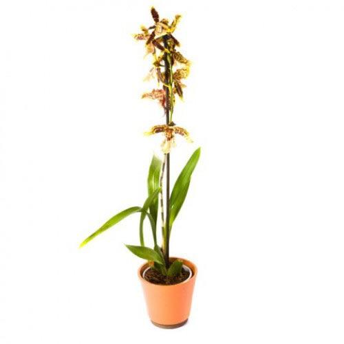 Купить орхидея камбрия в Хабаровске