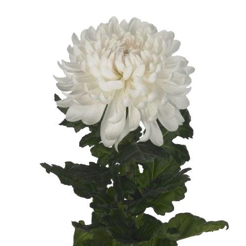 Купить хризантему в Хабаровске