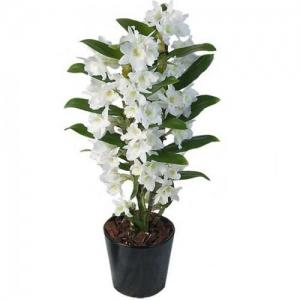 Купить орхидею Дендробиум в Хабаровске