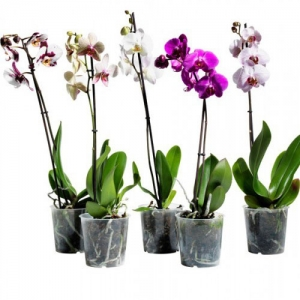 Купить орхидея фаленопсис в Хабаровске