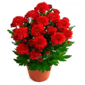 Купить хризантема кустовая в Хабаровске