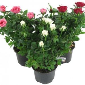 Купить роза в горшке в Хабаровске