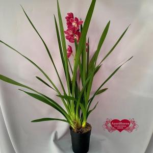 Купить орхидею Цимбидиум в Хабаровске