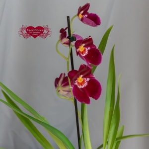 Купить орхидею Мильтония в горшке в Хабаровске