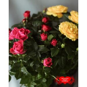 Купить большую розу в горшке в Хабаровске