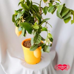 Купить лимон в горшке в Хабаровске