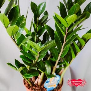 Купить Замиокулькас (Долларовое дерево) в горшке в Хабаровске