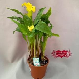 Купить цветок калла в Хабаровске