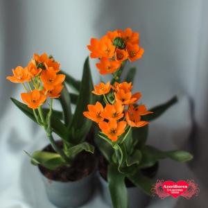 Купить Орнитогалум в горшке в Хабаровске