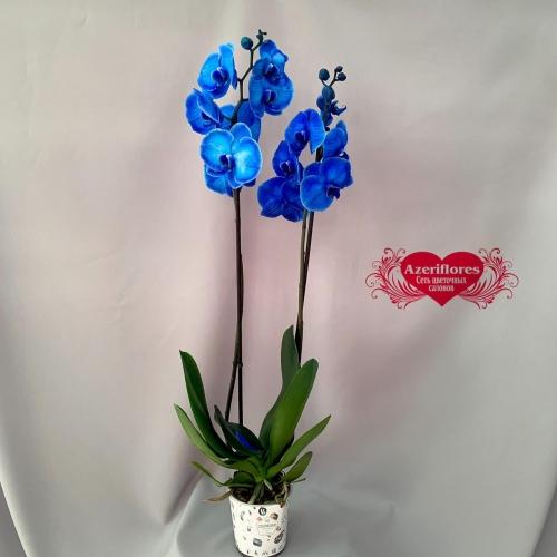 Купить крашеную орхидею фаленопсис в Хабаровске