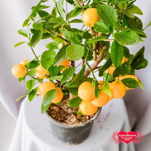 Купить мандарин в горшке в Хабаровске