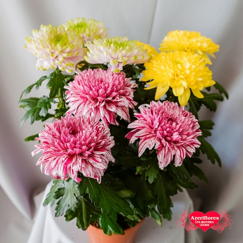 Купить хризантему одноголовую в горшке в Хабаровске