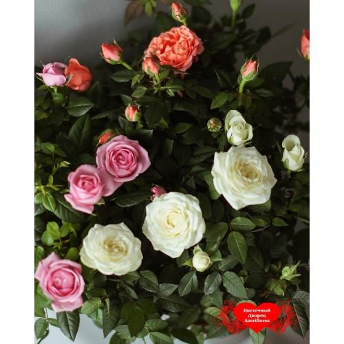 Купить маленькую розу в горшке в Хабаровске