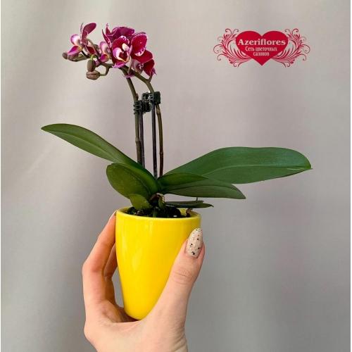 Купить мини орхидею в горшке в Хабаровске