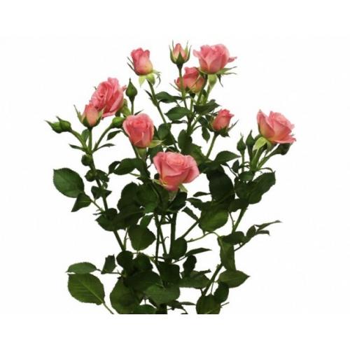 Купить кустовую розу в Хабаровске